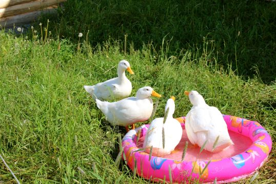 ducks by pool2